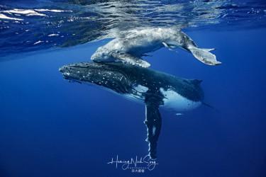 大翅鲸母子