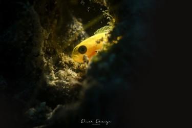 凶恶的小黄鱼
