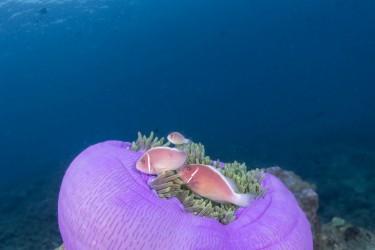 苹果海葵上的银背小丑鱼